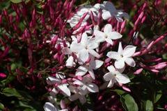Polyanthum del Jasminum, flor rosada del sambac Liana de la estrella de Odorate fotografía de archivo libre de regalías