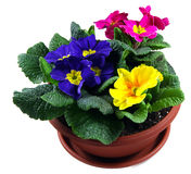 Polyanthus pot Royalty Free Stock Photos