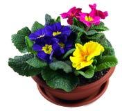 Polyanthus pot Royalty Free Stock Photos