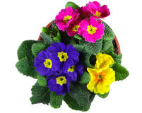 Polyanthus pot Stock Photography