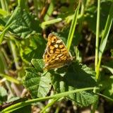 Polychloros del Nymphalis, grande farfalla di carapace in piante selvatiche Fotografie Stock