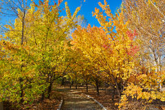 The polychrome autumn forest and path. The photo was taken in Northeast Petroleum University Sartu district Daqing city Heilongjiang province, China Stock Photo