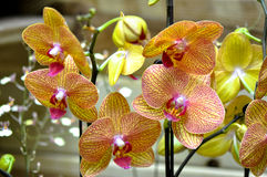 Polychrome butterfuly orchids Royalty Free Stock Photo