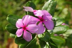 Polychromes totaux de la Thaïlande d'espèces de fleur de Vinca choisissent Photos libres de droits