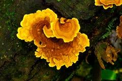 polychrous香菰属的蘑菇 免版税库存图片