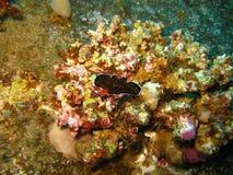 Polyclad Flatworm Nudibranch på Chrisolaen K royaltyfria foton
