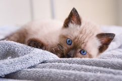 Polydactyl гималайский котенок кладя шаловливо Стоковое Фото