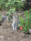 Polydactyl cat at Ernest Hemingway House, Key West Stock Images