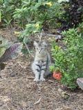 Polydactyl katt på Ernest Hemingway House, Key West Arkivbilder