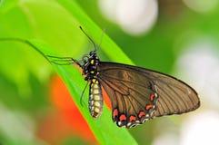 polydamas πεταλούδων battus Στοκ εικόνες με δικαίωμα ελεύθερης χρήσης