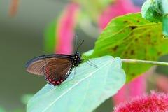 polydamas πεταλούδων swallowtail Στοκ εικόνα με δικαίωμα ελεύθερης χρήσης