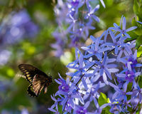 Polydamas Swallowtail Lizenzfreie Stockbilder
