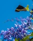 Polydamas Swallowtail Lizenzfreie Stockfotografie