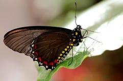 Polydamas Swallowtail fjäril på det gröna bladet Arkivfoton