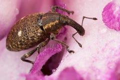 Polydrusus en la flor rosada Imagen de archivo libre de regalías