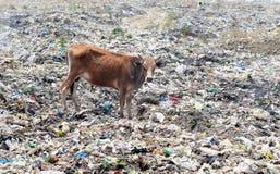 Polyetenpåse som förbjudas för att spara kon i MP Arkivbild