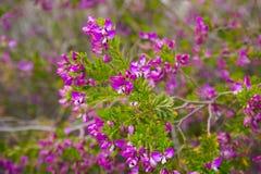 Polygala myrtifolia flowers Royalty Free Stock Photo