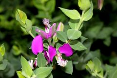 Polygala myrtifolia, myrtle-leaf milkwort, September bush. Shrub with oval green leaves and mauve to purple flowers, petals marked with darker veins and  brush Stock Photography