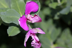 Polygala myrtifolia, myrtle-leaf milkwort Royalty Free Stock Photos