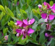 Polygala oder Milkwort in Kreta Griechenland Lizenzfreie Stockbilder