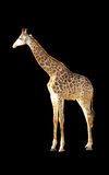 Polygon geometric giraffe Stock Images