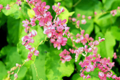 Polygonaceae in pink with bees flying around Stock Photo