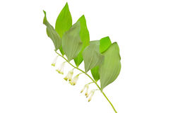 Polygonatum flower on white background Stock Photos