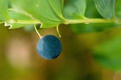 Polygonatum multiflorum fruit Stock Photography