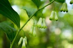Polygonatum multiflorum lasowy wildflower w kwiacie z liśćmi i pączkami Fotografia Royalty Free