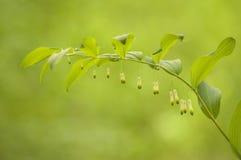 Polygonatum odoratum Stock Photography