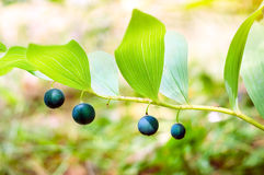 Polygonatum officinale Stock Image