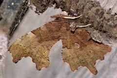 polygonia κομμάτων πεταλούδων γ &lambda Στοκ Φωτογραφία
