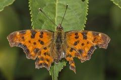 polygonia запятого c бабочки альбома Стоковые Изображения RF