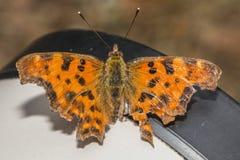 polygonia запятого c бабочки альбома Стоковые Фотографии RF