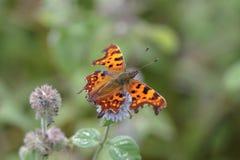 polygonia запятого c бабочки альбома Стоковая Фотография