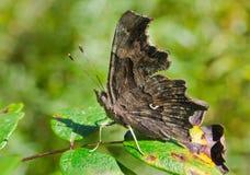 polygonia c бабочки 7 альбомов Стоковое фото RF