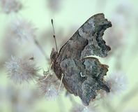 Polygonia c-album. On the flower Stock Images