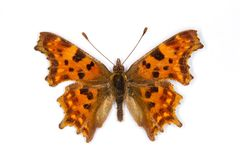 Free Polygonia C-album Royalty Free Stock Photography - 16167077
