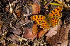 Free Polygonia C-album Butterfly Royalty Free Stock Photos - 90741958