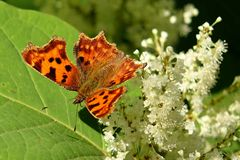 Polygonia c-album Royalty Free Stock Photography
