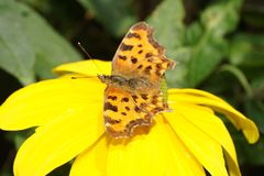 Polygonia C-Album Butterfly Stock Images
