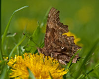 Polygonia c-album butterfly Stock Image