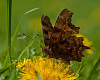 Polygonia c-album butterfly Royalty Free Stock Photography