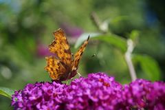 Polygonia C-Album Butterfly Royalty Free Stock Images
