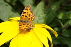 Polygonia C-Album Butterfly Royalty Free Stock Photos