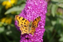 Polygonia C-Album Butterfly Stock Photography