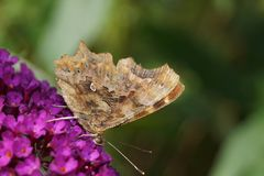 Polygonia C-Album Butterfly Stock Photo