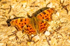 Polygonia c-album, butterfly. Of the German flora Stock Photos