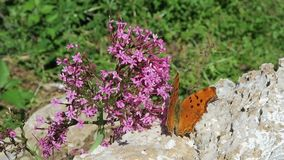 Polygonia c-album butterfly on red valerian Centranthus ruber flower.  stock video