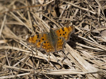 Polygonia c-album. Comma butterfly basking in sunshine Stock Image